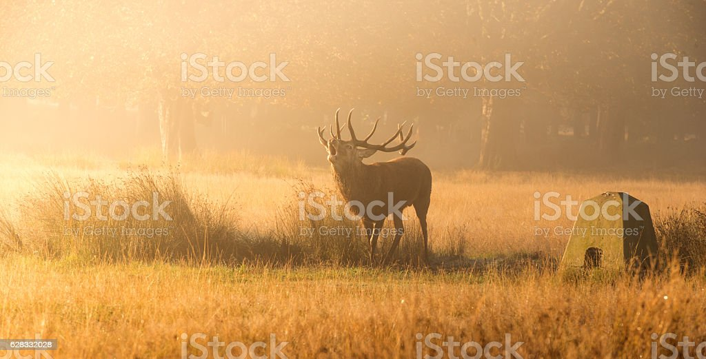 Red deer stag in misty morning stock photo