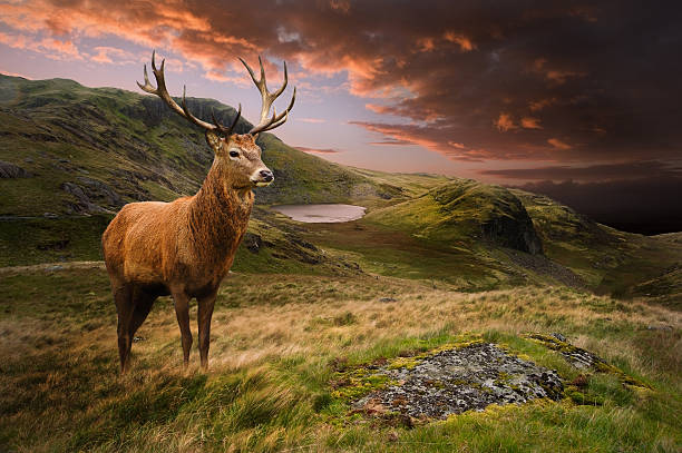Red deer stag in moody dramatic mountain landscape Dramatic sunset with beautiful sky over mountain range giving a strong moody landscape and red deer stag looking strong and proud stag stock pictures, royalty-free photos & images