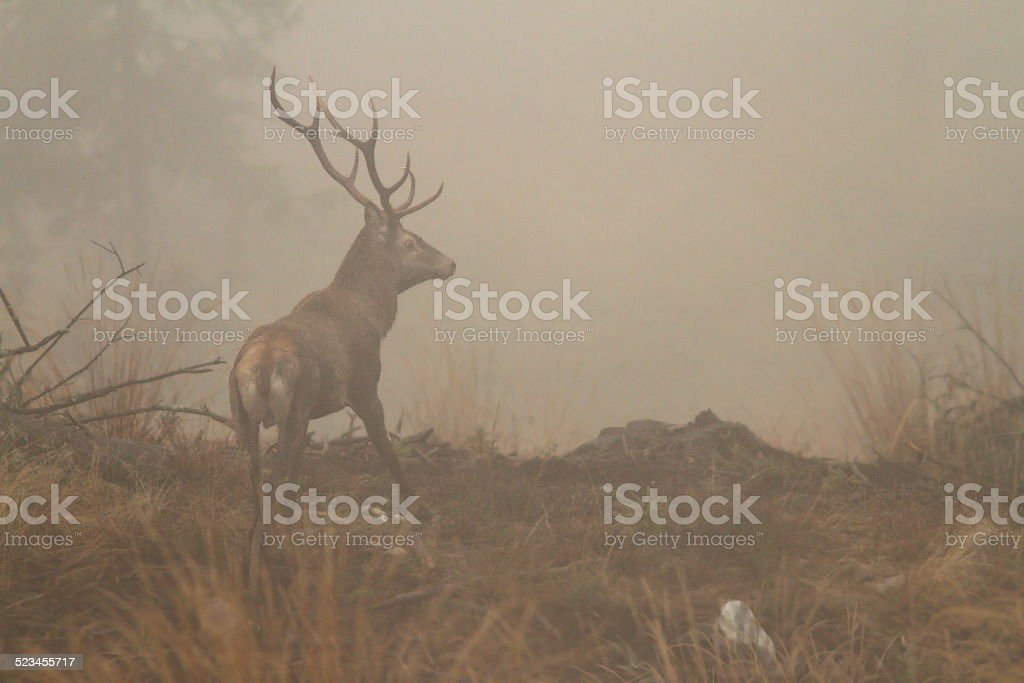 red deer stag in morning fog stock photo