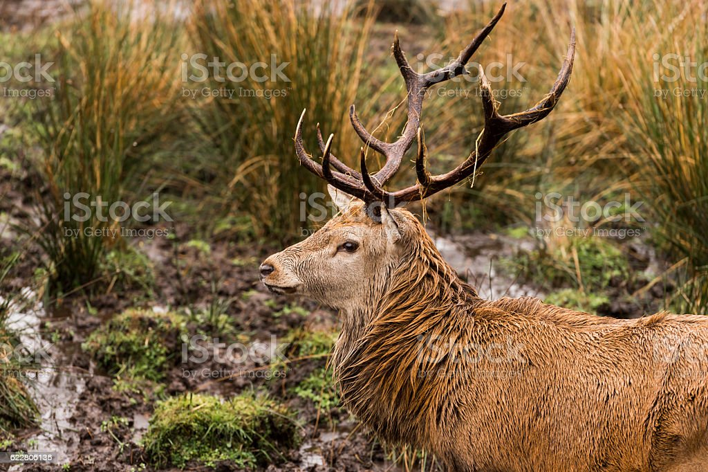 Red deer stag in rural Dumfries and Galloway Scotland stock photo