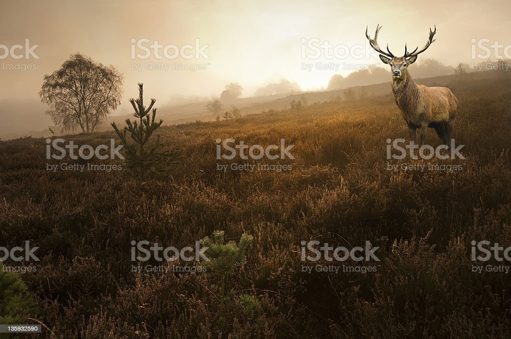 Red deer stag in stunning Autumn Fall forest sunrise landscape stock photo