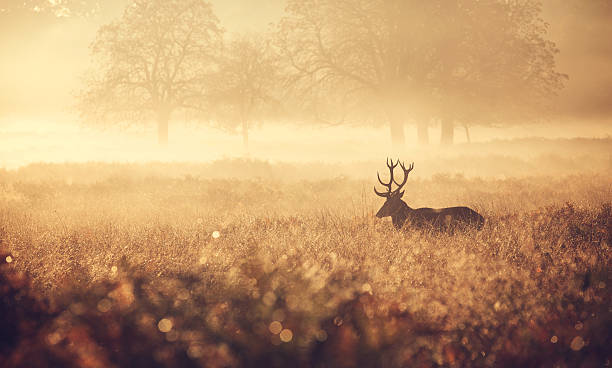 Red Deer Stag in the golden mist The silhouette of a large red deer stag walking in the golden morning mist one autumn day animal call stock pictures, royalty-free photos & images