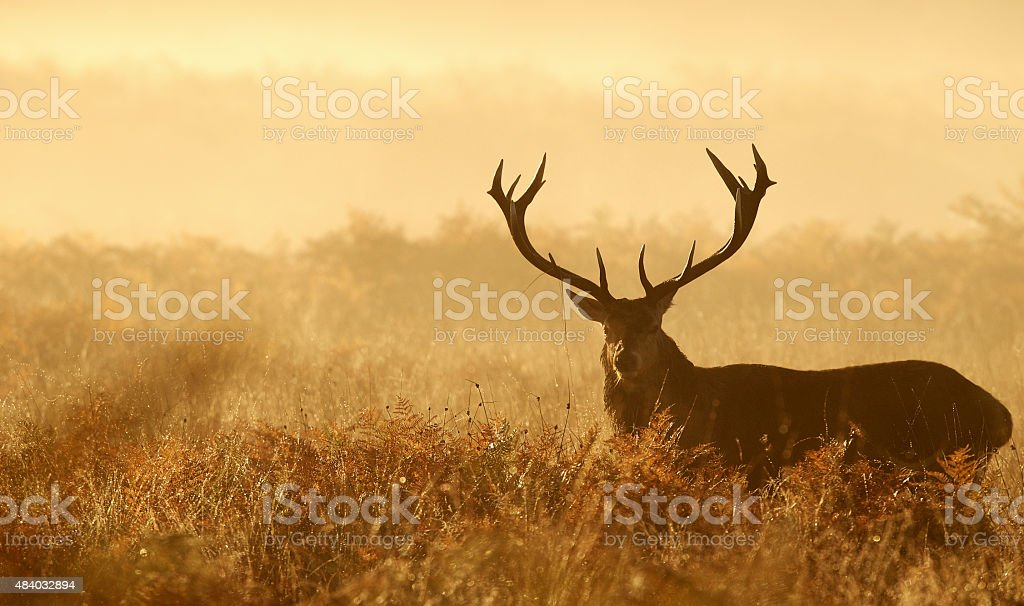 Red deer stag in the morning mist stock photo