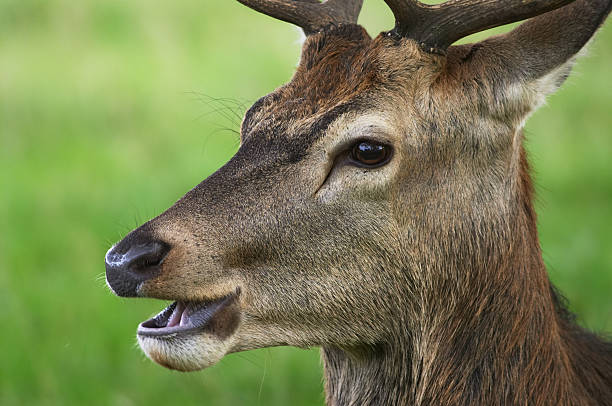 panting young red deer stag cervus elaphus portrait - whiteway deer stock photos and pictures