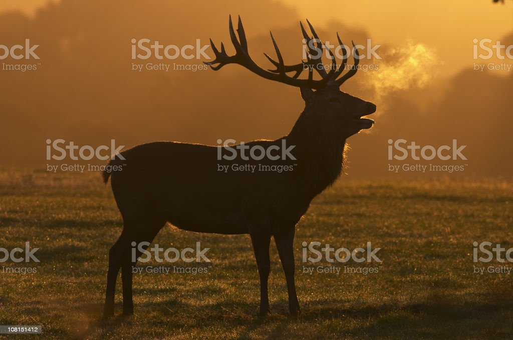 Red deer stag dawn silhouette stock photo