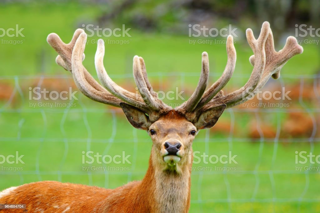red deer stag in velvet royalty-free stock photo