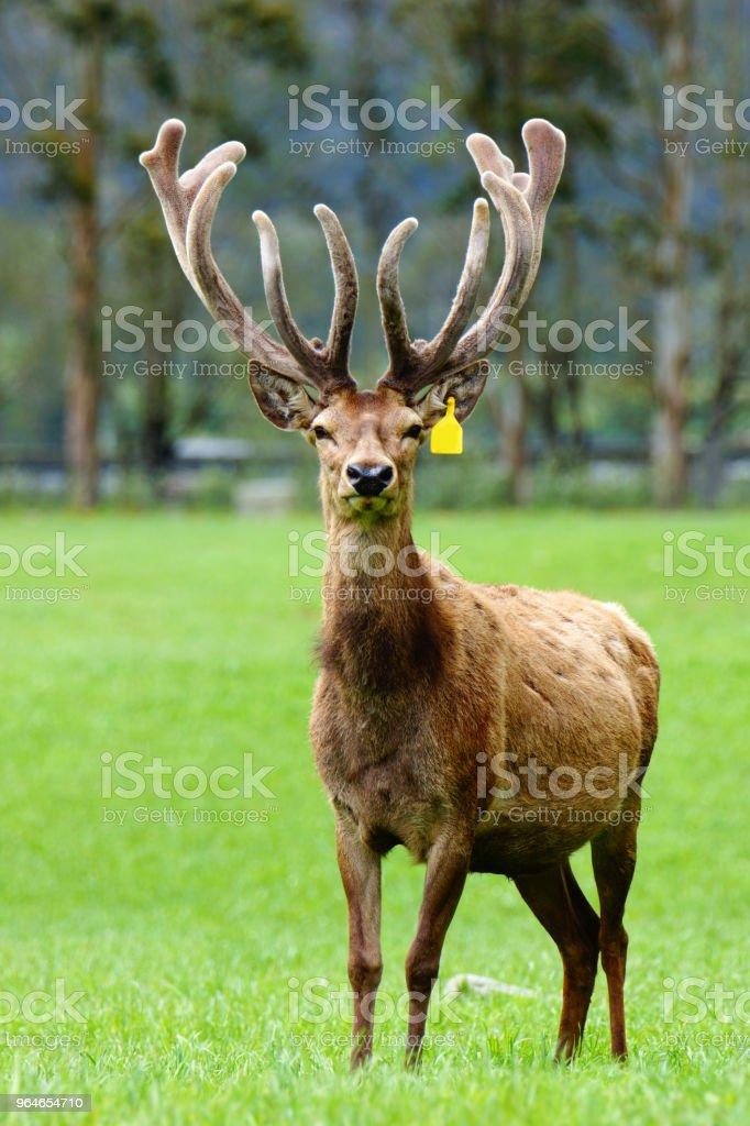 red deer stag in velvet royalty-free stock photo