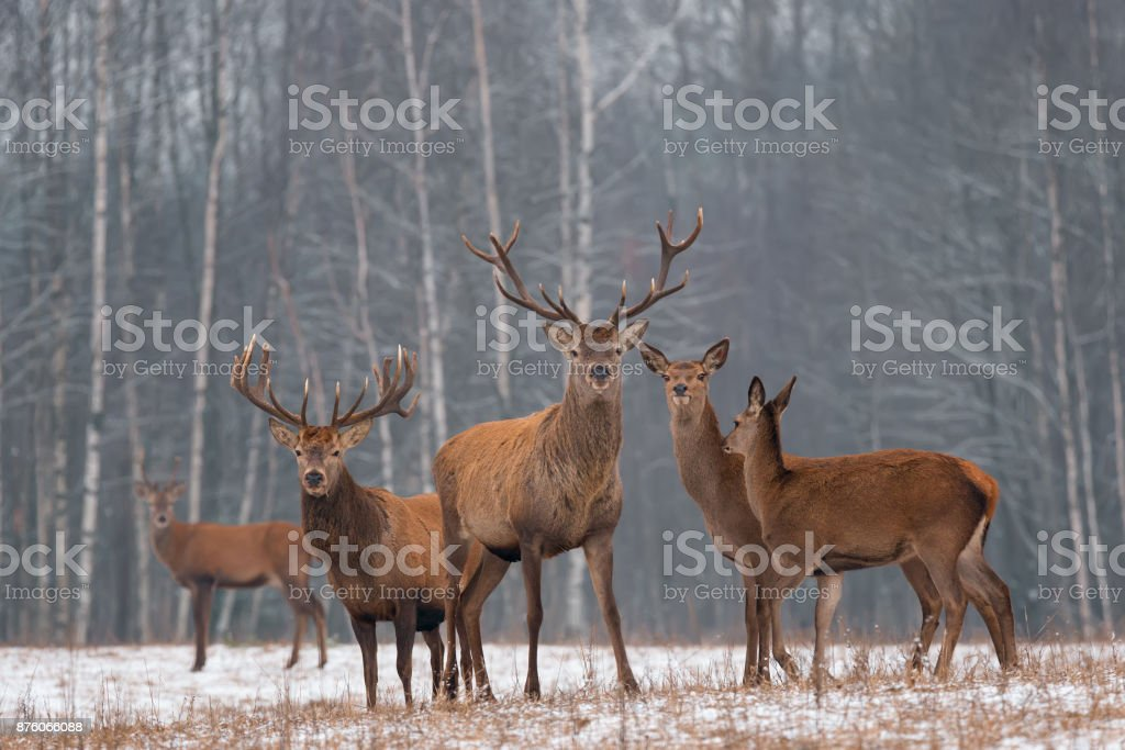 Red Deer Stag In Winter. Winter Wildlife Landscape With Herd Of Deer (Cervus Elaphus). Deer With Large Branched Horns On The Background Of Winter Forest.  Stag Close-Up, Artistic View. Trophy Deer stock photo