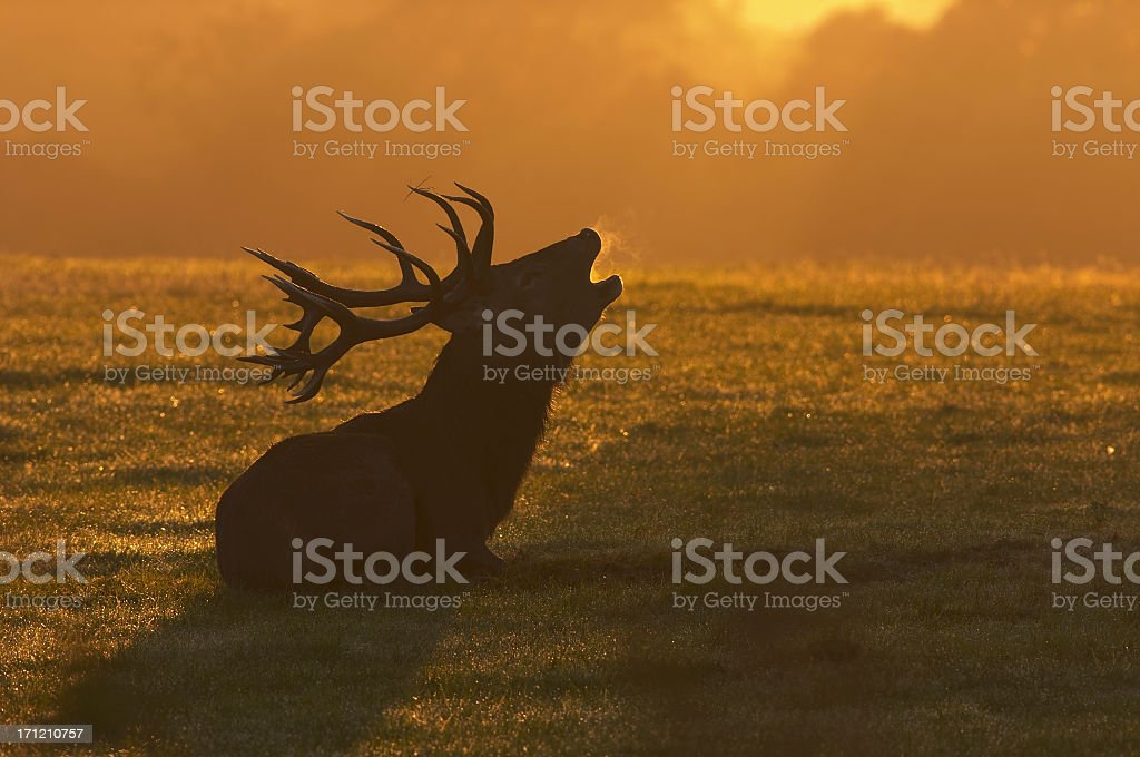 Red deer stag sitting roaring at the dawn stock photo