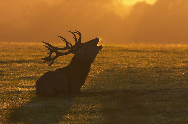 red deer stag sitting roaring at the dawn - whiteway deer stock photos and pictures