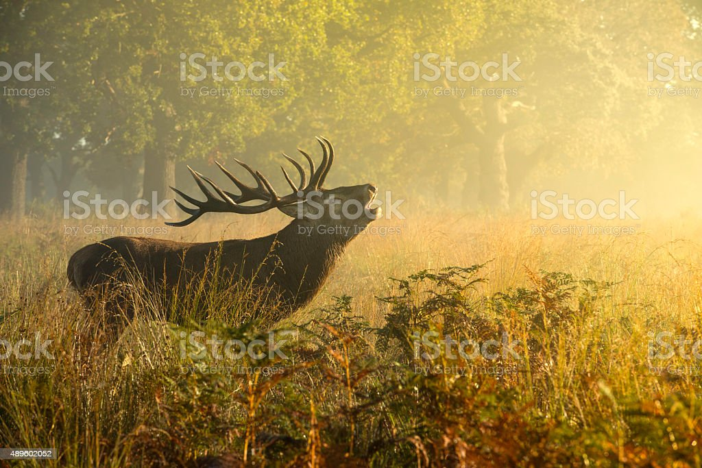Red deer stag stock photo