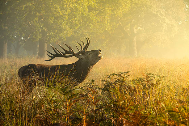 red deer stag - richmond park stock photos and pictures
