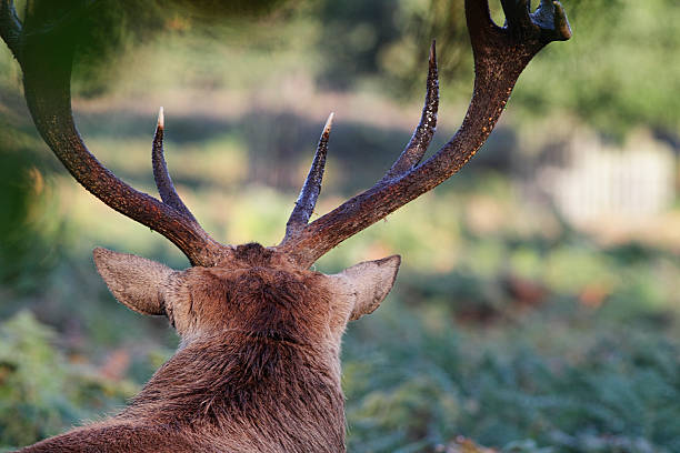 red deer stag staring into empty landscape - whiteway deer stock photos and pictures