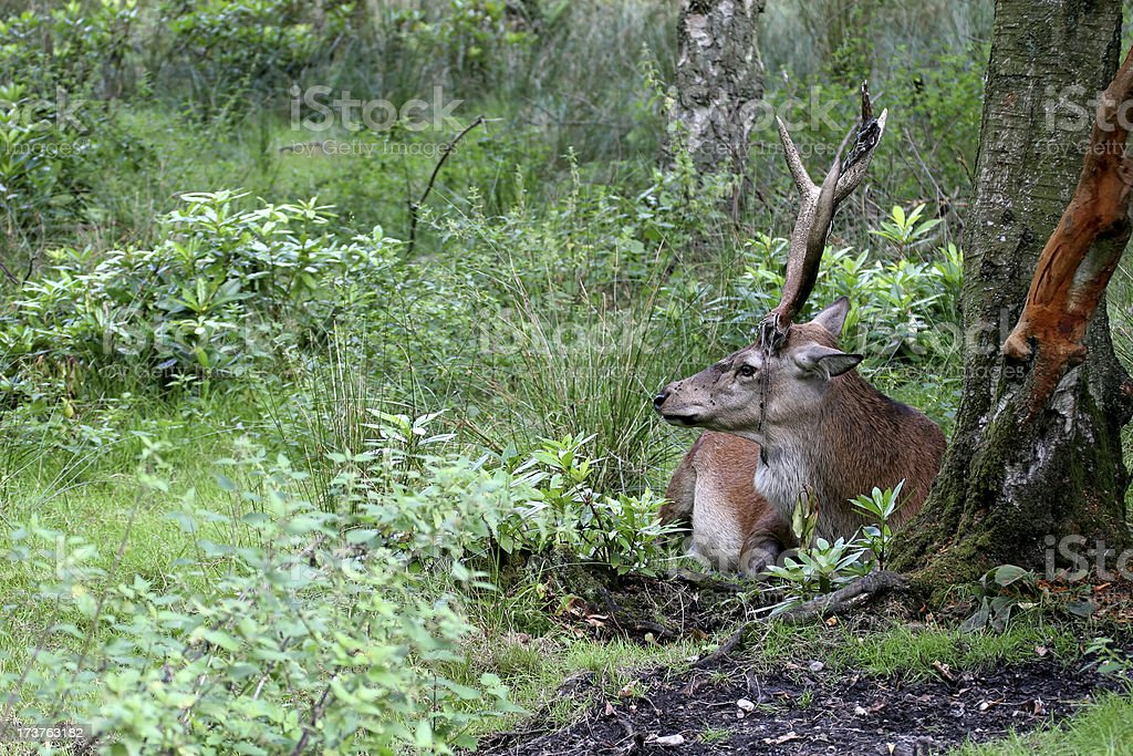 Red Deer Stag Resting royalty-free stock photo