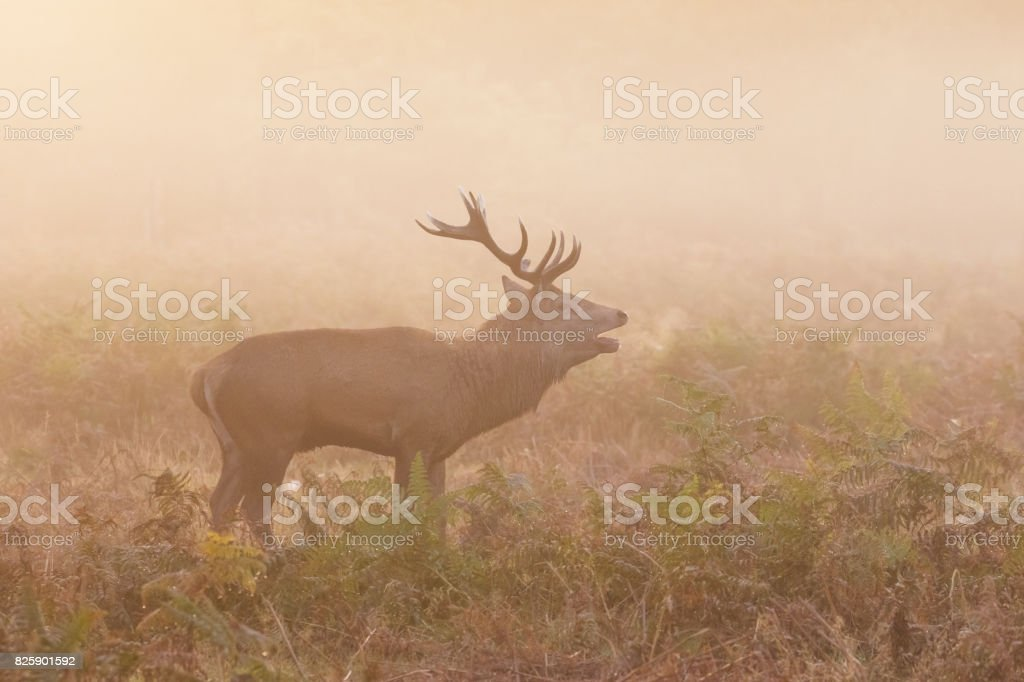 Red Deer stag (Cervus elaphus) roaring bellowing calling showing breath, on a cold morning stock photo