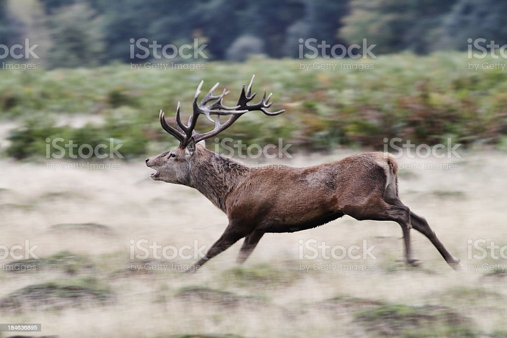 Red deer stag in running rut action stock photo