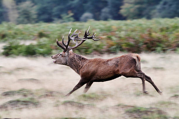 red deer stag in running rut action - whiteway deer stock photos and pictures