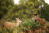 Red Deer stag standing by a hind in the field during rutting season, UK.