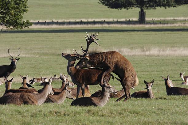 Penile erection red deer stag Cervus elaphus with hind stock photo