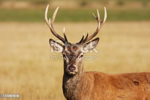 Red deer stag (Cervus elaphus). This is either a hart (a male in its fifth year) or a full-grown red deer stag in its sixth year. It does not yet have the full rack of antlers necessary to defend a group of females.