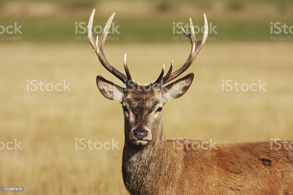Have a hart red deer stag stock photo