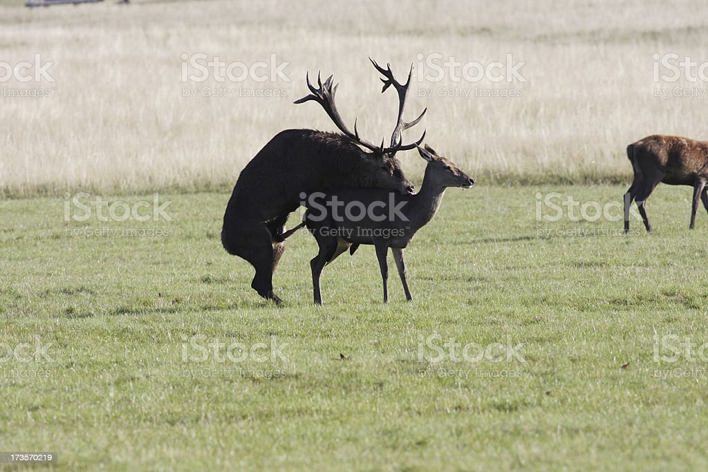 Sex in red deer Cervus elaphus with eager female lead stock photo