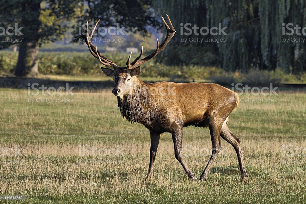 Walking tall red deer stag in the autumn rut stock photo