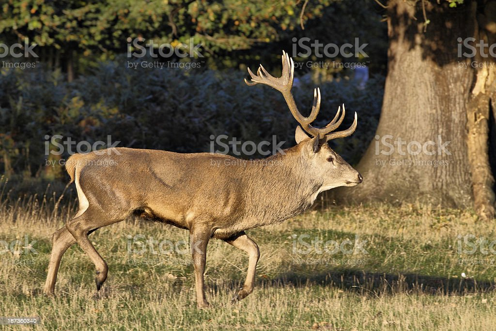 Red deer stag trotting full length profile stock photo