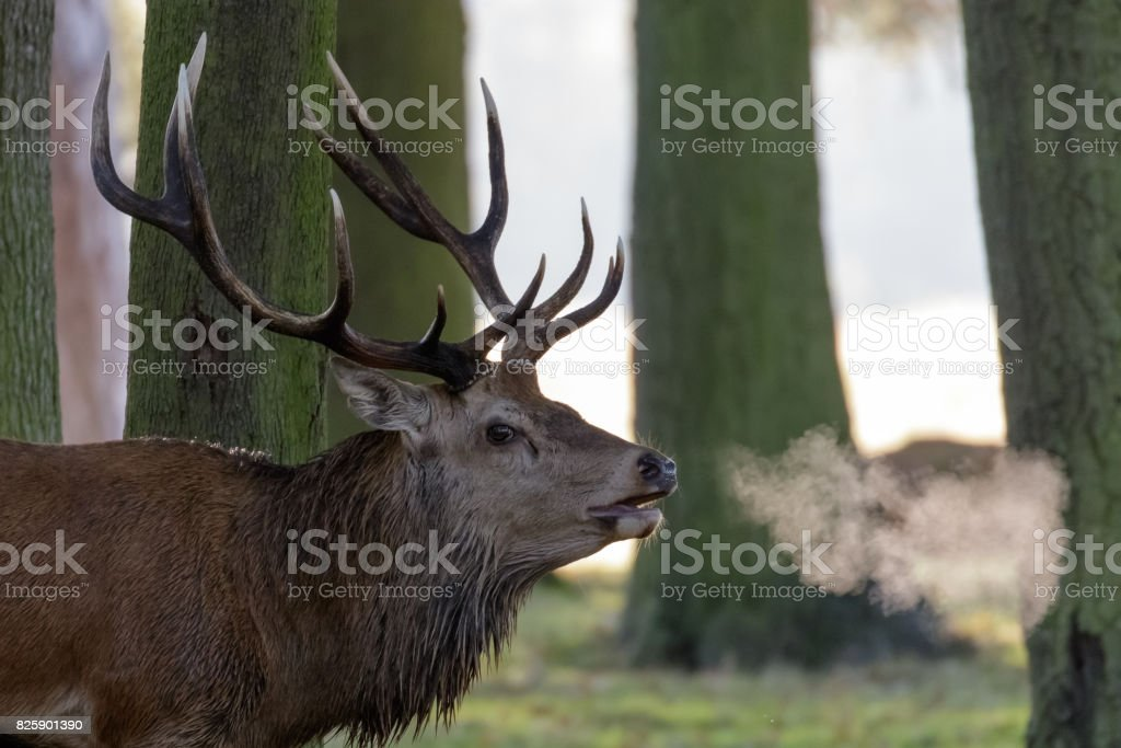 Red Deer Stag (Cervus elaphus) with breath showing in woodland copse edge stock photo