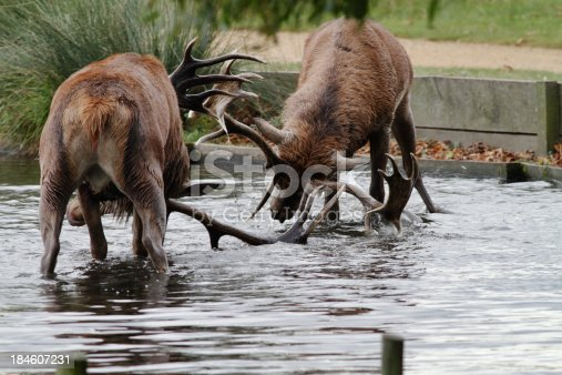 465666157 istock photo Two red deer stags splash in river battle 184607231