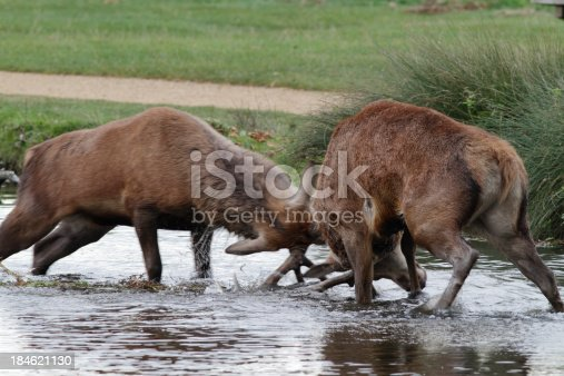 465666157 istock photo Two red deer stags fight in river 184621130
