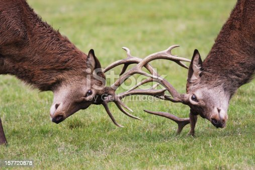 465666157 istock photo Rutting red deer stags fighting with antlers locked 157720878