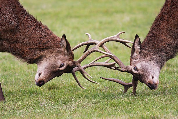 rutting red deer stags fighting with antlers locked - whiteway deer stock photos and pictures