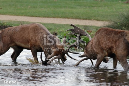 465666157 istock photo Two red deer stags strain in river fight 184597395
