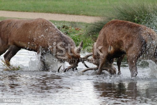 465666157 istock photo Two red deer stags fighting in river water 184605420
