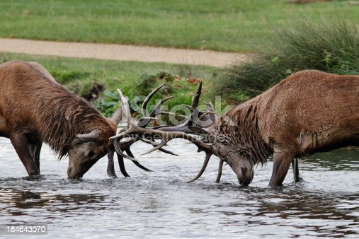 465666157 istock photo Two red deer stags lock antlers in river fight 184643070