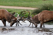 Red deer stags (Cervus elaphus) fighting. This is early one morning in October 2011, during the rut in Bushy Park. Two rutting stags stand side-by-side in a stream, comparing their strength and fitness. In this game of dare, if a show of strength is not enough to persuade one of them to back down then - as in this case - there will be a fight. In this case, the two stags entered a narrow river before sizing up each other's battle-worthiness. As here, these fights often occur before the autumn sun is out. There is considerable motion blur as the two big animals clash their huge antlers together.