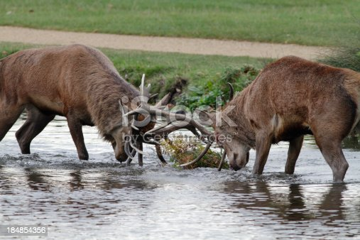 465666157 istock photo Two stags fight in river red deer 184854356