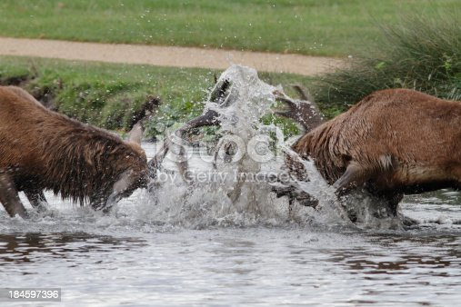 465666157 istock photo Two stags fighting in river make a fountain 184597396