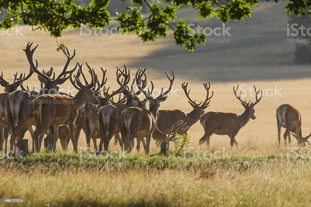Red Deer Stags stock photo