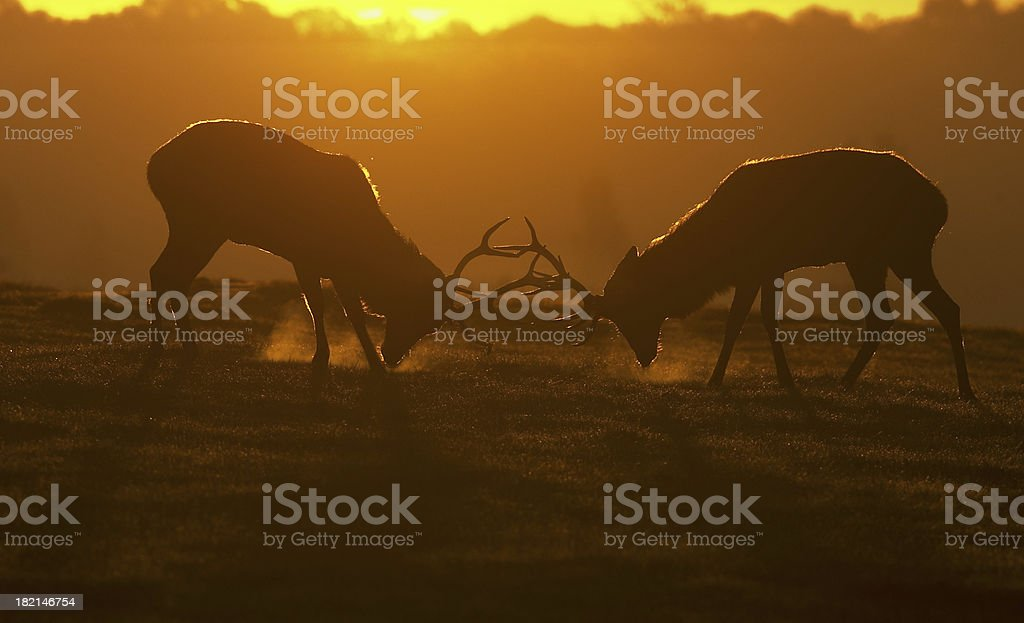 Red deer stags in rut ready to fight visible breath stock photo