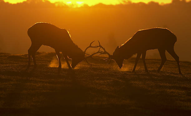 red deer stags in rut ready to fight visible breath - whiteway deer stock photos and pictures