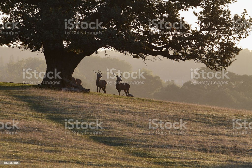 Two red deer stags lift their head from eating acorns stock photo