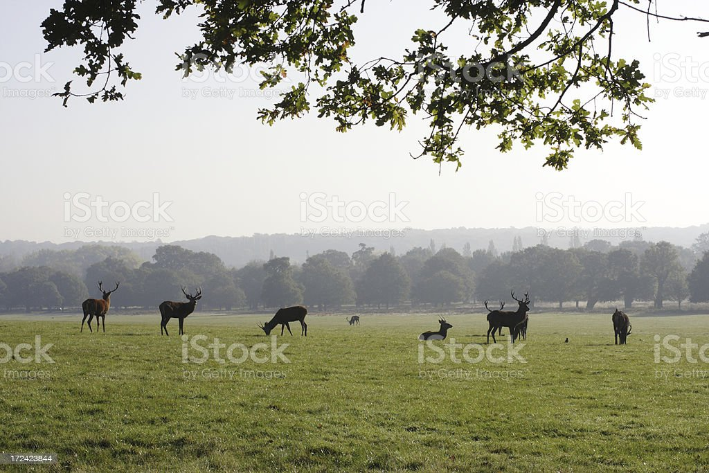 Landscape view bachelor herd red deer stags stock photo