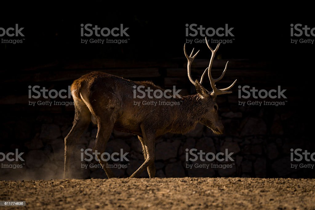 Red deer under the contour light stock photo