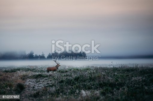 istock Red deer with antlers on foggy field the in Belarus. 610237652