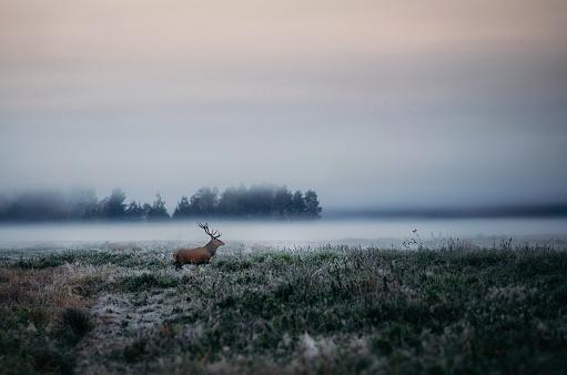 istock Red deer with antlers on foggy field the in Belarus. 610237652