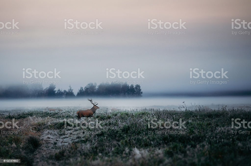 Red deer with antlers on foggy field the in Belarus. stock photo