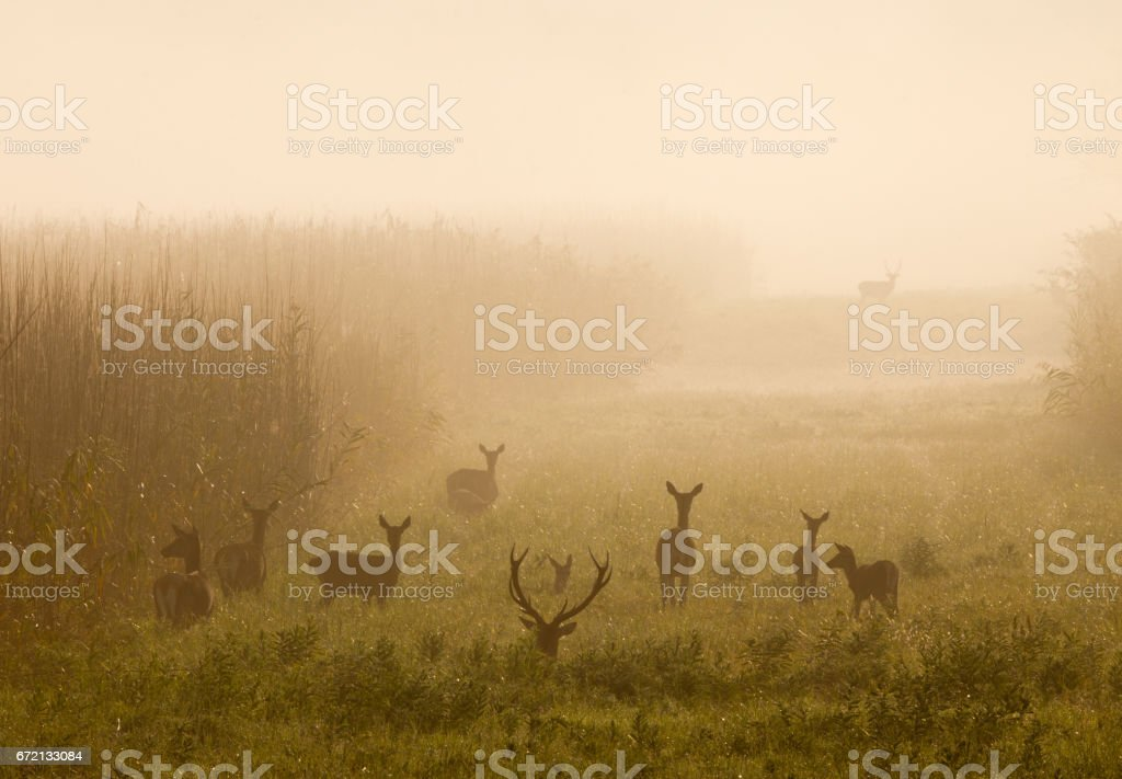 Red deer with hinds in fog stock photo