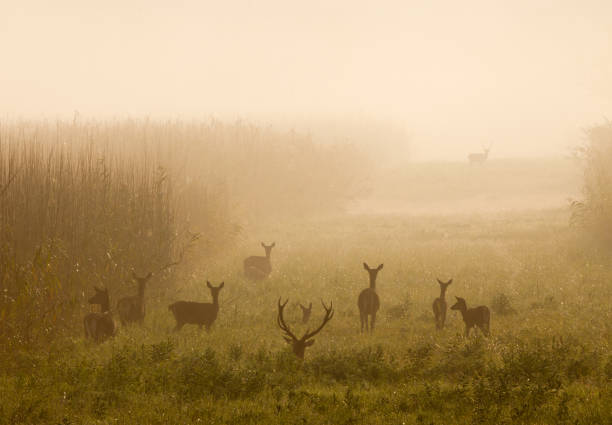 Red deer with hinds in fog - foto stock